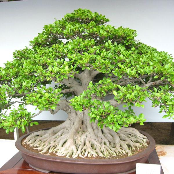 ficus-microcarpa-bonsai-l-c5d21a73f091f0f7.jpg